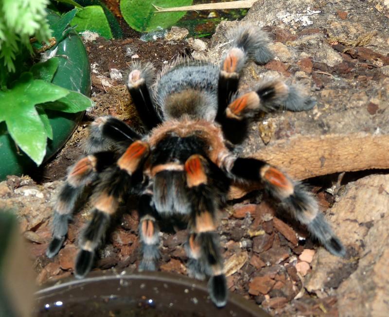 Riesenspinnen