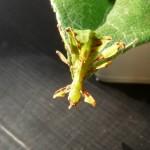 Wandelndes Blatt männliche Nymphe