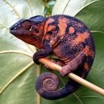 Pantherchamäleons Foto:Anne97432 Quelle:http://commons.wikimedia.org Lizenz: CC