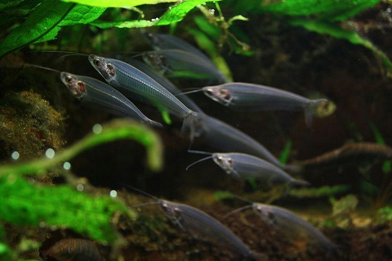 De Indiase Glas Catfish ( Kryptopterus bicirrhis ) - Mikes Hobby Blog: www.mikes-hobby-blog.de/nl/2013/12/14/der-indische-glaswels...