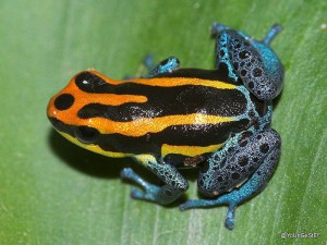 Ranitomeya amazonica Foto:Rbrausse Quelle:http://commons.wikimedia.org Lizenz: CC