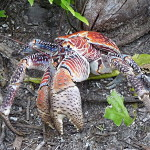 Palmendieb Foto:Animalparty Quelle:http://commons.wikimedia.org Lizenz: CC