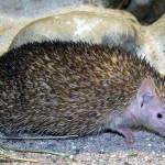 Foto:Haplochromis  Quelle:http://commons.wikimedia.org/wiki/File:Kleiner-igeltanrek-a.jpg Lizenz: CC