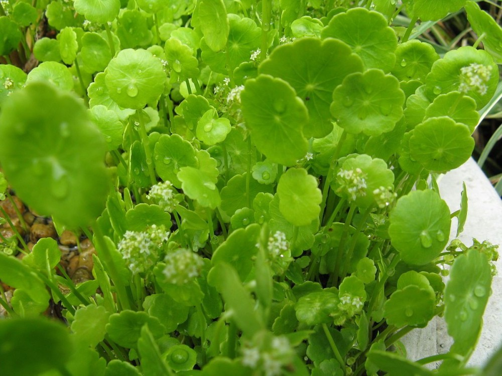 Foto:KENPEI Quelle:https://commons.wikimedia.org/wiki/File:Hydrocotyle_verticillata_var_triradiata1.jpg Lizenz: CC