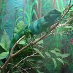 Foto:Greverod Quelle:https://commons.wikimedia.org/wiki/File:Brachylophus_fasciatus_%28Fijian_Iguana%29.jpg Lizenz: CC