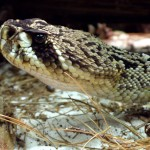 Foto:TimVickers Quelle:https://commons.wikimedia.org/wiki/File:Crotalus_adamanteus_%284%29.jpg Lizenz: puplic domain