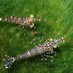 Sulawesigarnelen Foto:DirkBlankenhaus Quelle:https://commons.wikimedia.org/wiki/File:Poso-rock-shrimp.jpg Lizenz: CC
